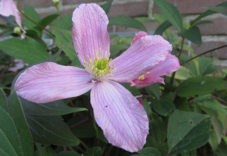 Clematis snoeien: zorgen voor een mooie bloei