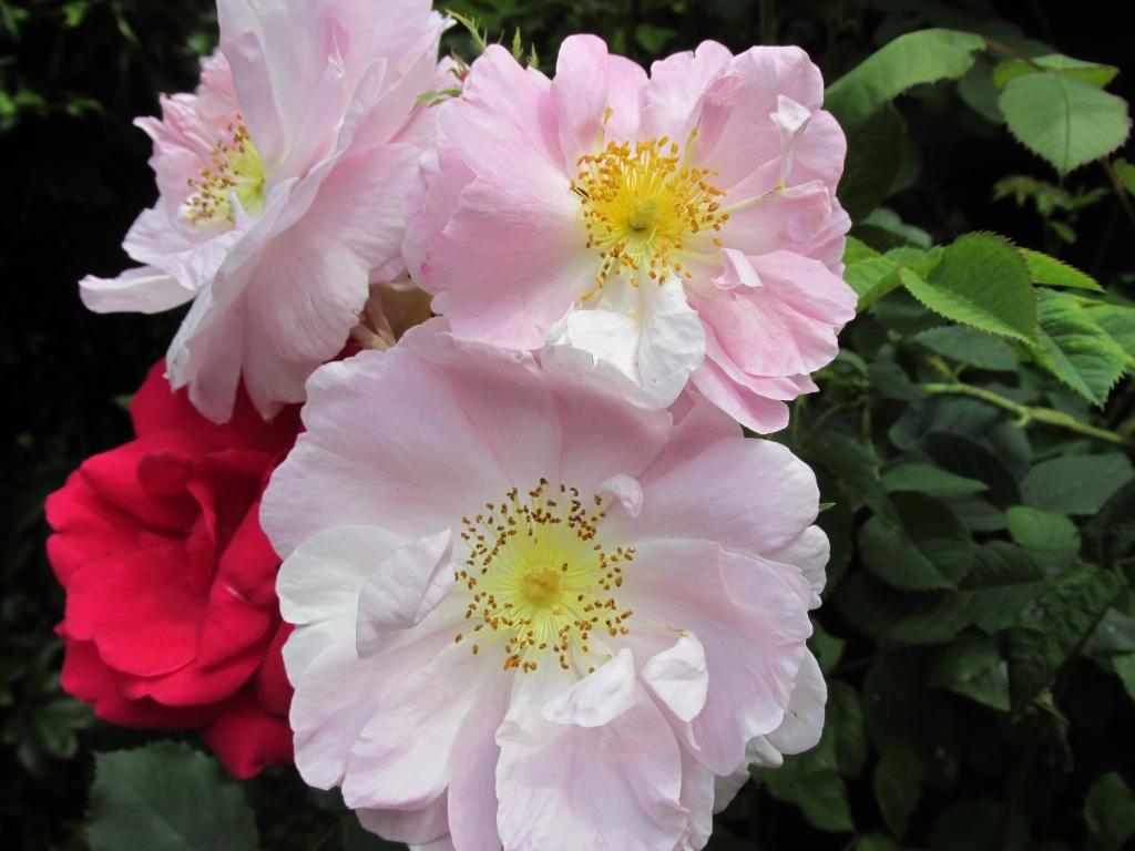 Bloeitijd rozen