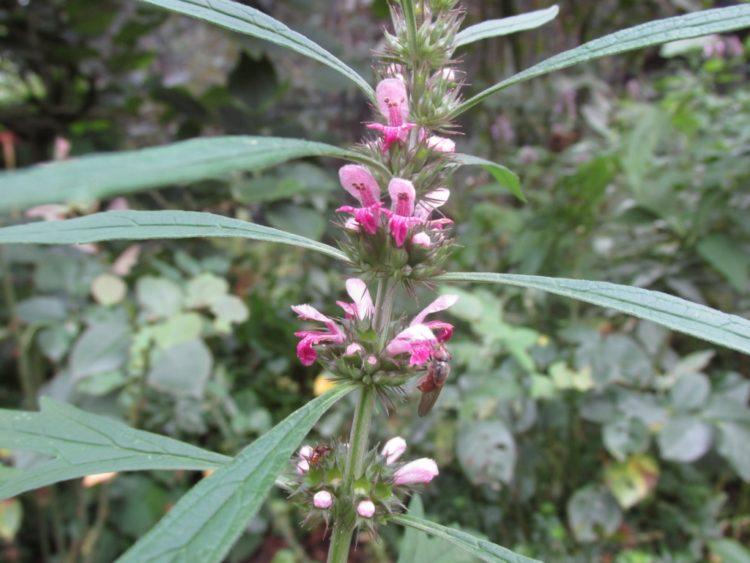 Hartgespan (leonorus) bloeit de hele zomer door