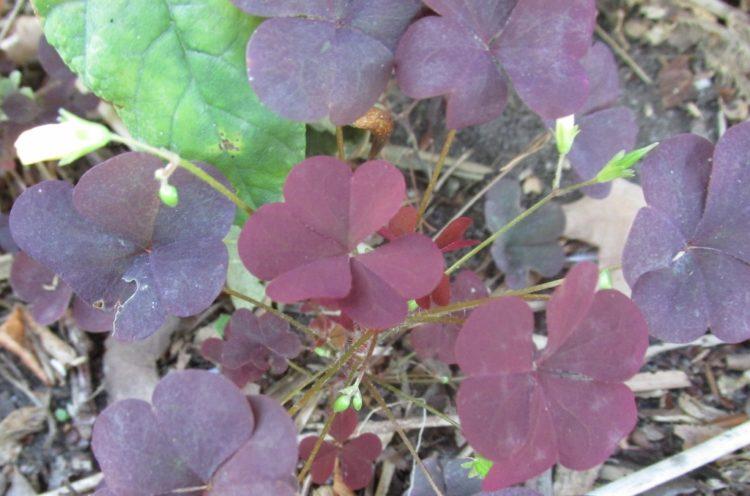Wat te doen tegen rode of groene klaver in de tuin?