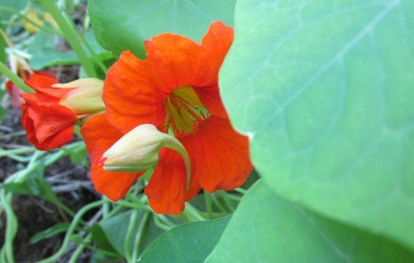 oost-indische-kers-blad-knop-bloem
