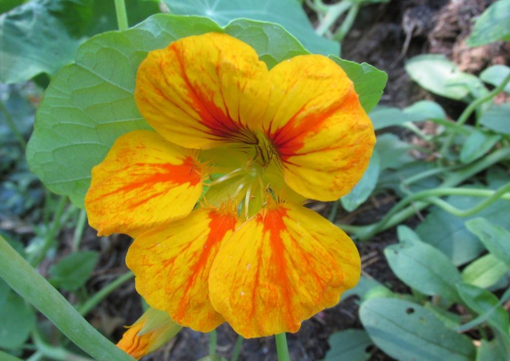 klimplanten oost-indische-kers-geel