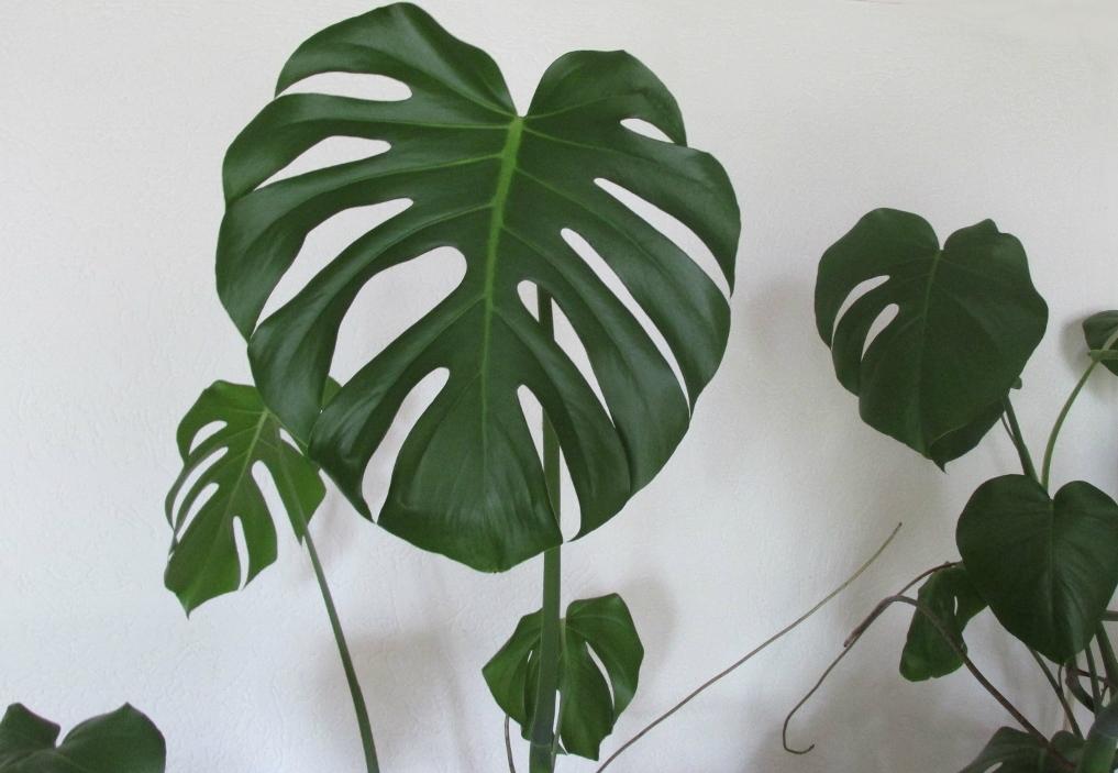 blad-gatenplant-monstera