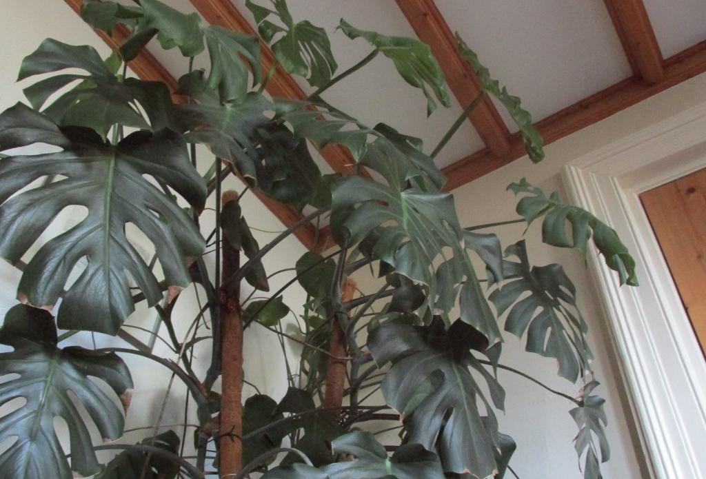 gatenplant-monstera2