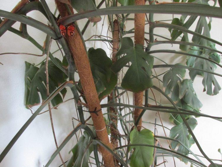 Mosstokken gebruiken om een plant te ondersteunen
