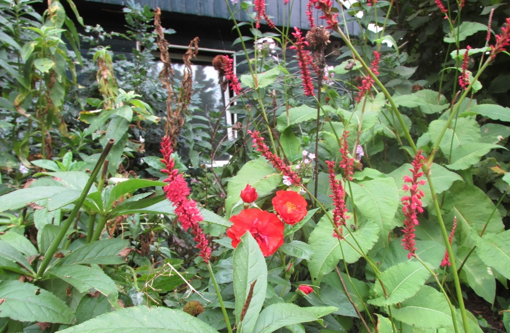 rood roos persicaria