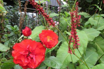 roos-chorus-persicaria