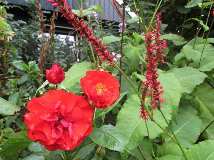 Kleurencombinaties in je tuin: rood & rood