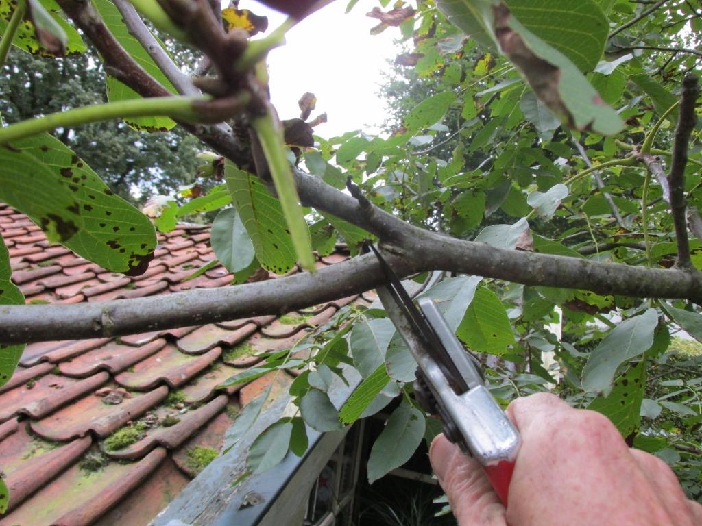 walnotenboom-snoeien