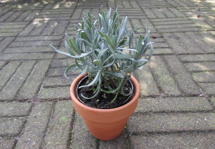 Nieuw in onze webshop: citroengeranium en lavendel