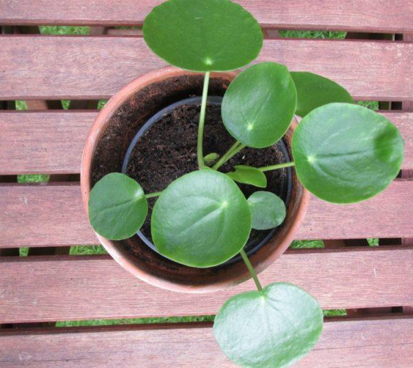 pannenkoekenplant pilea peperomioides 1