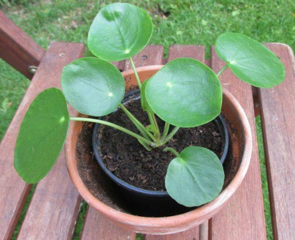 pannenkoekenplant pilea peperomioides 3