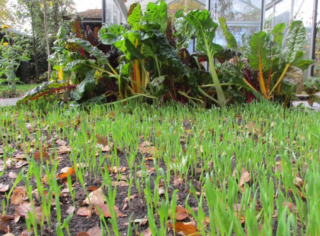 winterrogge als groenbemester in de groentetuin.