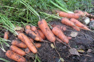 wortelen-groentetuin