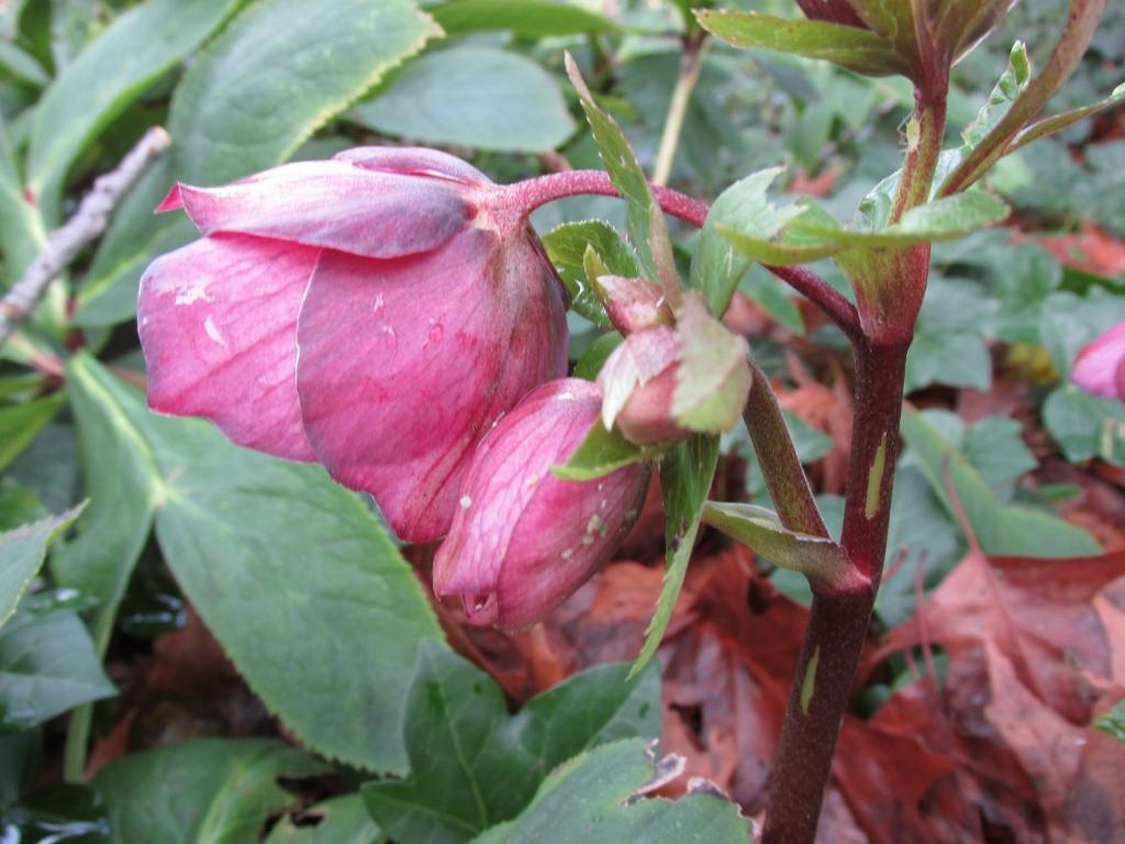 roze-kerstroos-zijkant