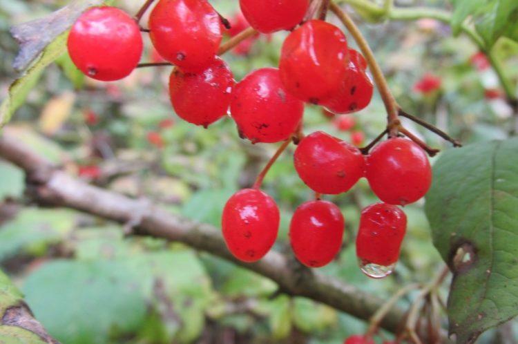 Bijzondere bessen: gelderse roos (Viburnum opulus)