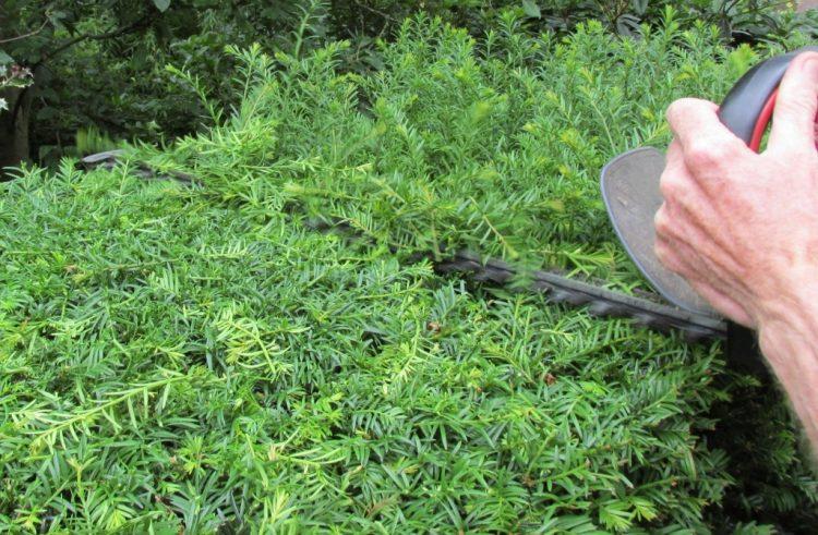 groeit een gesnoeide conifeer weer aan? (lezersvraag) - groene passies