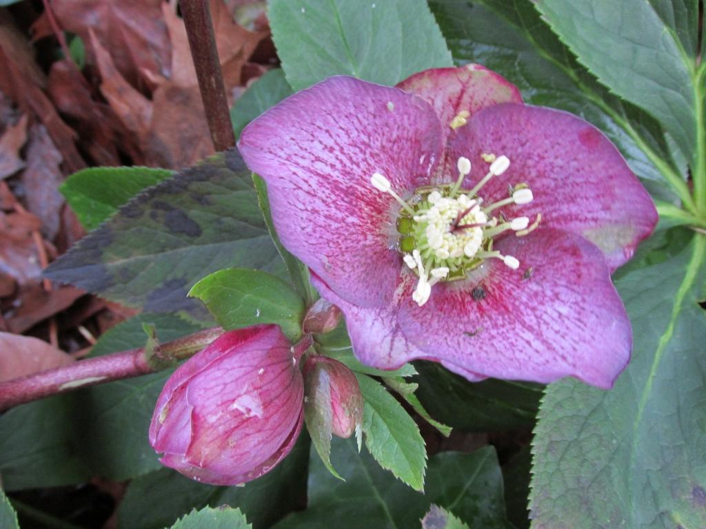 kerstroost-helleborus-niger-roze