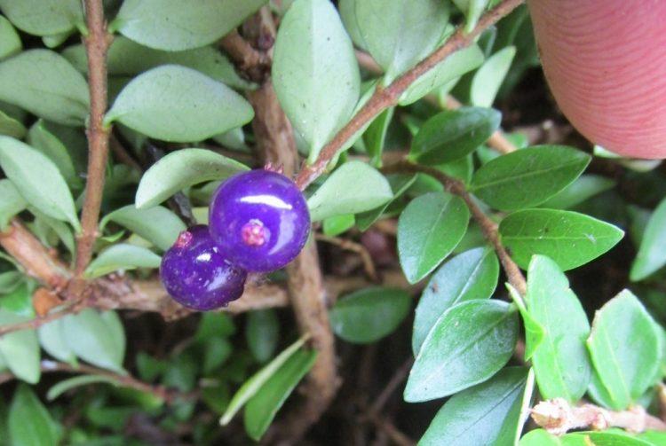 Bijzondere bessen: Lonicera fragantissima