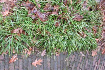 grote veldbies Luzula sylvatica cover