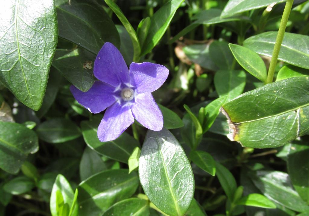 maagdenpalm vinca bloem