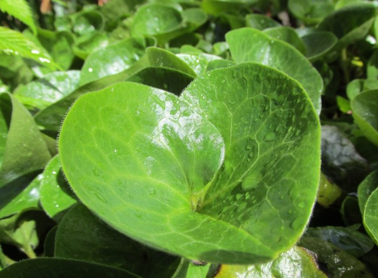 Mansoor (Asarum europaeum): ideale bodembedekker