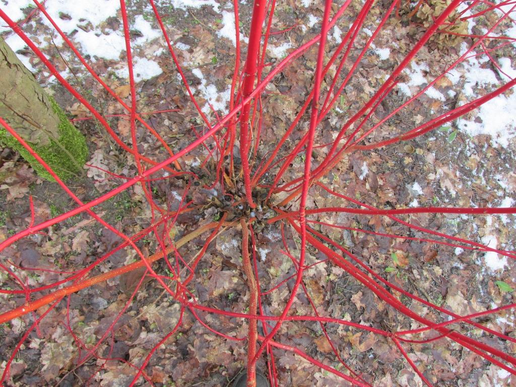 witte kornoelje rode takken bovenaf