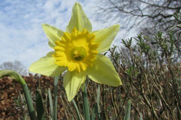 Wilde narcis bloem