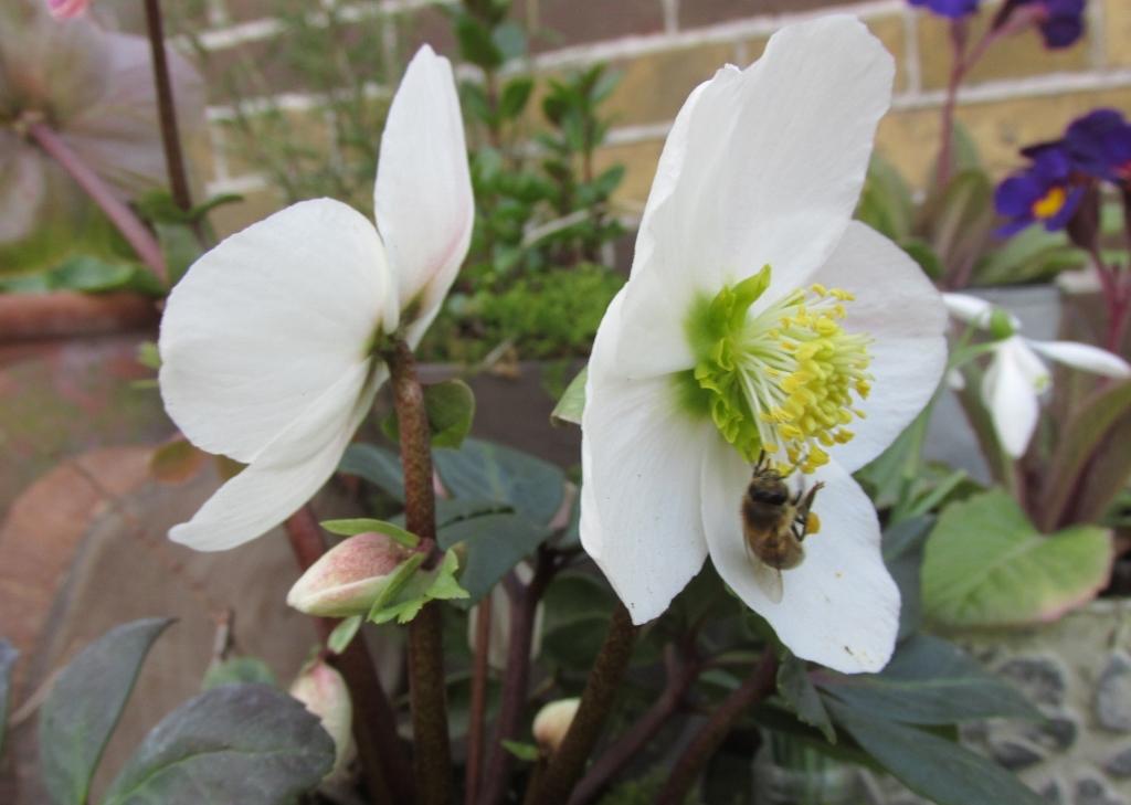 voorjaarstafel helleborus niger hommel