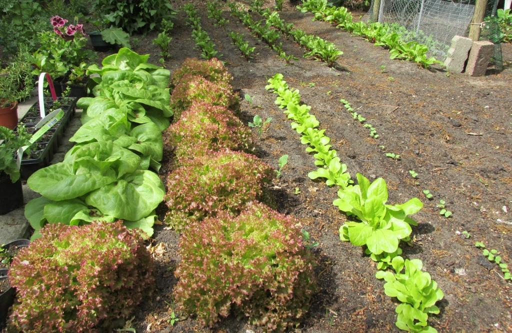 groentetuin kropsla