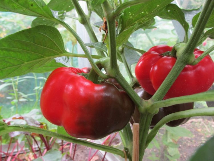 7 keer: onze favoriete groenten uit de moestuin