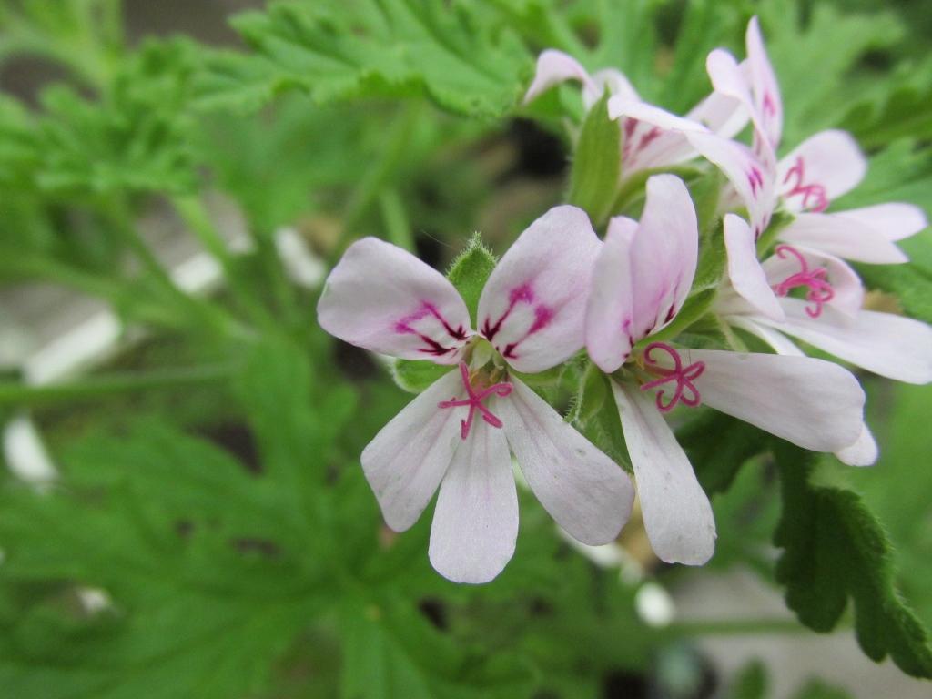 citroengeranium bloem