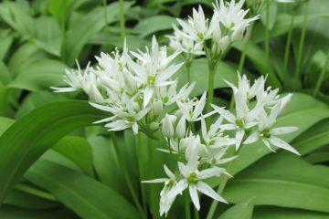 daslook bloemen allium ursinum