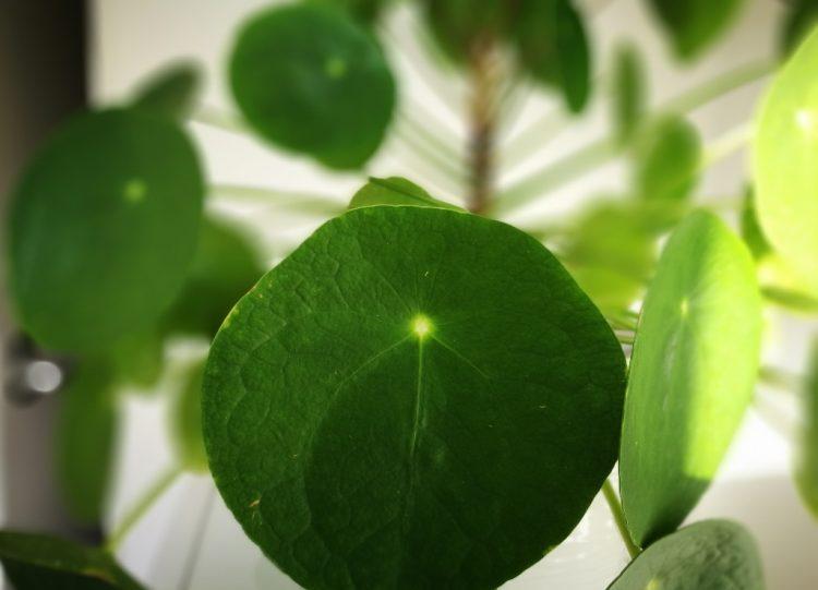 Pannenkoekenplant (pilea peperomioides) stekken
