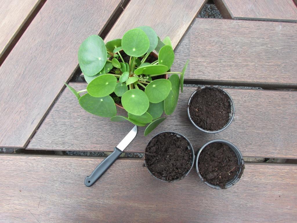 pilea peperomioides pannenkoekenplant stekken