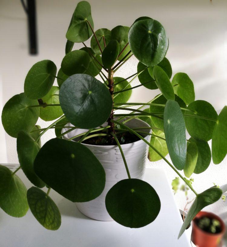 Luis op de pannenkoekenplant (pilea peperomioides): lelijk, gekruld blad