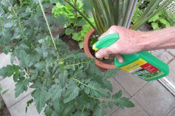 phytophthora spuiten tomaten