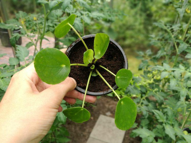 pilea-peperomioides-pannenkoekenplant-kas