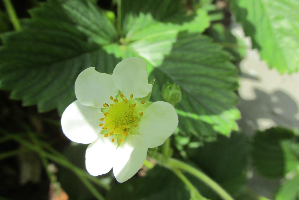 aardbei bloem