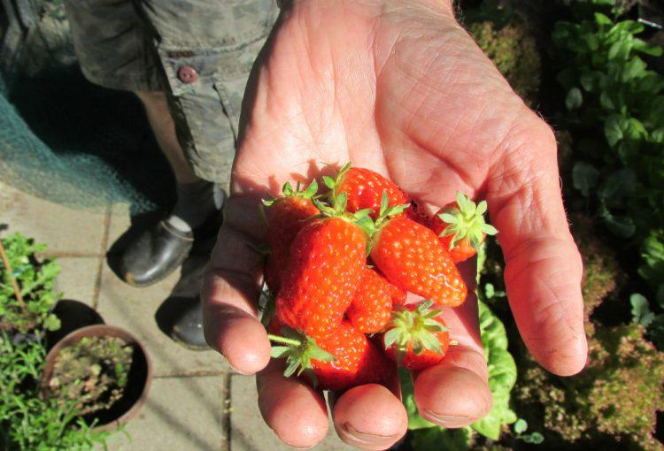 Stappenplan: zo zet je een nieuw bed voor aardbeien op (aardbeien planten)