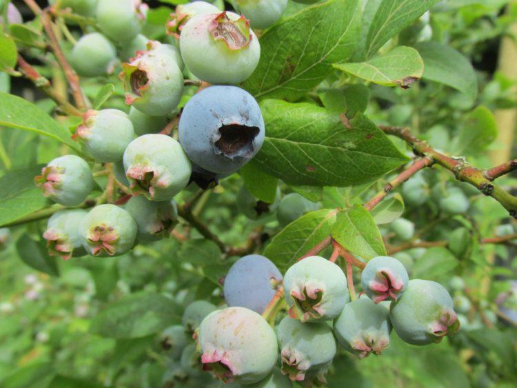 Zo verzorg en snoei je de blauwe bes (vaccinium corymbosum)
