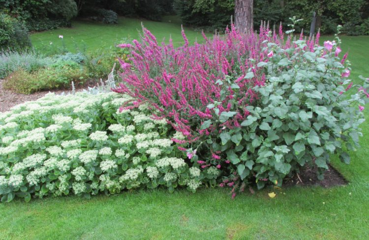 Sedum spectabilis brilliant + lythrum mordens pink (kattenstaart) + lavatera 1024