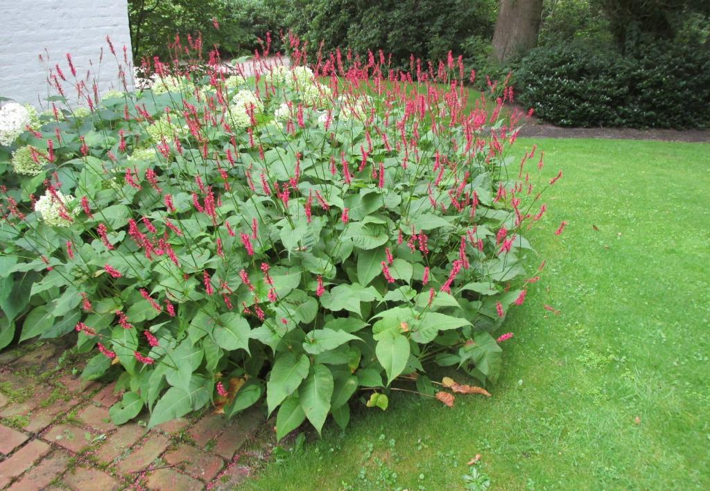 persicaria amplexicaulis + hydrangea annabelle 1024