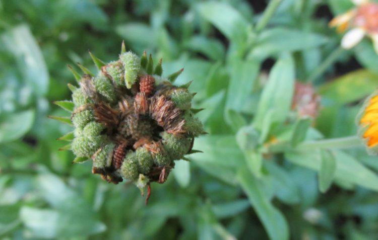 Zaden van bloemen oogsten in 4 stappen