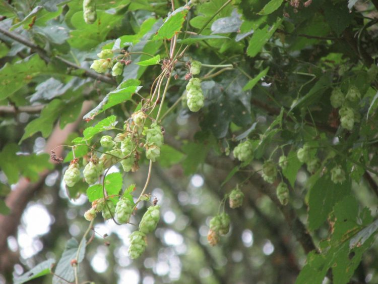Hop (humulus lupulus): prachtig, maar niet in je tuin