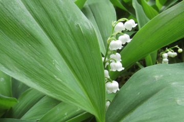 lelietje-van-dalen bloemen