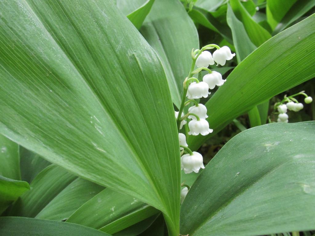 lelietjes van dalen bloemen