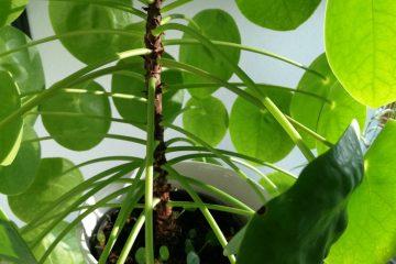 pannenkoekenplant_pilea_peperomioides