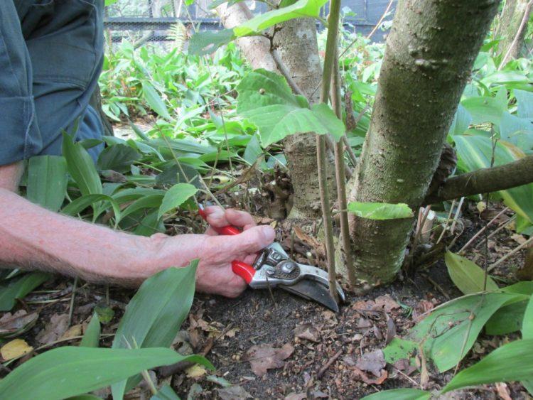 Toverhazelaar (hamamelis mollis): scheuten weghalen