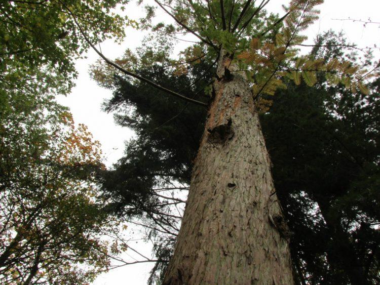 Metasequoia glyptostroboides (moerascipres) is indrukwekkend groot